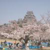 Hanami, tradición japonesa de concurrir a los parques a admirar la belleza de los cerezos en flor
