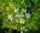 Jardinería: Cultivo del cilantro en casa