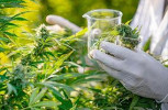 Usos terapéuticos y medicinales del cannabis